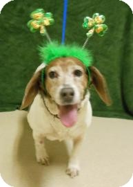 Beagle Mix Dog for adoption in Gary, Indiana - Molly