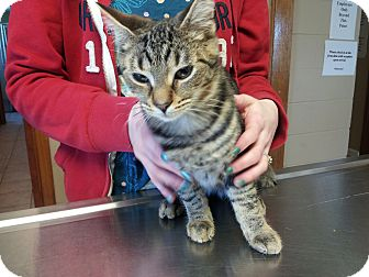 Domestic Shorthair Cat for adoption in Aylmer, Ontario - Cupid
