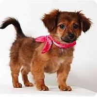 Adopt A Pet :: Melody - New York, NY