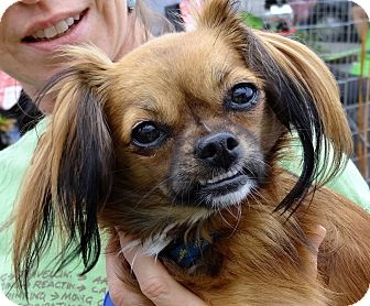 Papillon/Pekingese Mix Puppy for adoption in Santa Monica, California - Katie