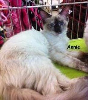 Siamese Cat for adoption in Sacramento, California - Annie M