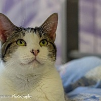 American Shorthair Cat for adoption in Holden, Missouri - Luke