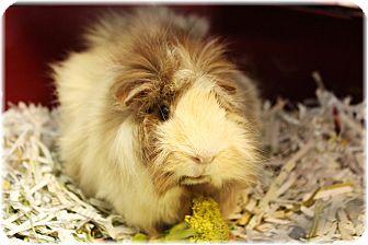Guinea Pig for adoption in Welland, Ontario - Patti