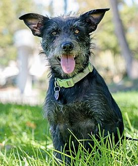 Terrier (Unknown Type, Medium)/Chihuahua Mix Dog for adoption in Fremont, California - Bouncy D6027 (was Karen)