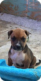 Boxer/Redbone Coonhound Mix Puppy for adoption in Charlotte, North Carolina - Mia