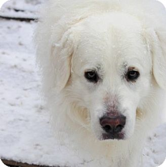Kuvasz Mix Dog for adoption in Edmonton, Alberta - Arrow Oliver