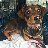 Adopt A Pet :: Autumn - Oak Ridge, NJ
