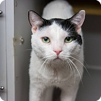 Domestic Shorthair Cat for adoption in New York, New York - Spyro