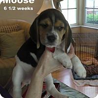 Adopt A Pet :: Melody's pup 'Moose' - Tampa, FL