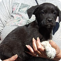 Australian Shepherd/Labrador Retriever Mix Puppy for adoption in Burlington, Vermont - Outlaw (8 lb) Video