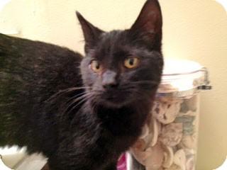 Domestic Shorthair Cat for adoption in Brighton, Michigan - Betsy