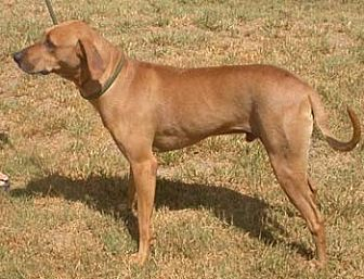 Rhodesian Ridgeback Dog for adoption in Seguin, Texas - Mikey
