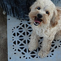 Cockapoo Mix Dog for adoption in Las Vegas, Nevada - Apollo