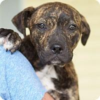 Adopt A Pet :: Star - Knoxville, TN