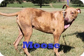 Pit Bull Terrier/Vizsla Mix Puppy for adoption in Blanchard, Oklahoma - Moose