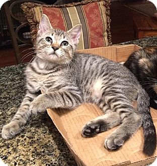 American Shorthair Kitten for adoption in Metairie, Louisiana - Daniel
