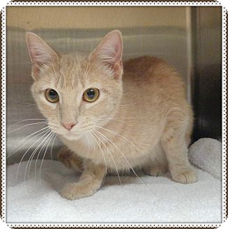 Domestic Shorthair Cat for adoption in Marietta, Georgia - SOPHIE (R)
