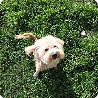 Adopt A Pet :: Bryce - Killeen, TX