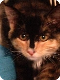 Calico Cat for adoption in Wenatchee, Washington - New arrival