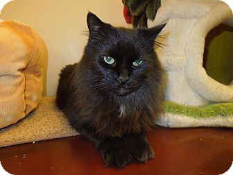 Domestic Mediumhair Cat for adoption in Medina, Ohio - Ringling