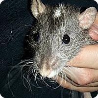 Adopt A Pet :: Agouti Oval Rex - Lakewood, WA
