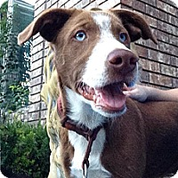 Adopt A Pet :: Roy - Greeley, CO