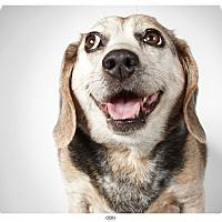 Adopt A Pet :: Odin - New York, NY