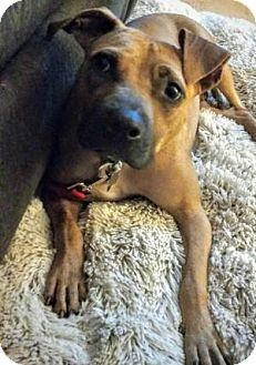 Labrador Retriever/Boxer Mix Dog for adoption in Marietta, Georgia - Tini