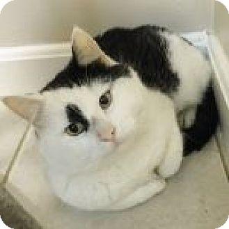Domestic Shorthair Cat for adoption in Medford, Massachusetts - Oreo