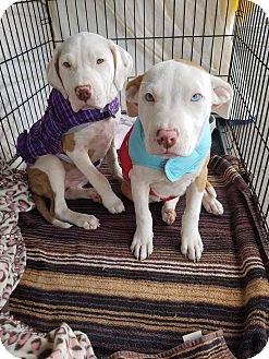 Pit Bull Terrier/Labrador Retriever Mix Puppy for adoption in Las Vegas, Nevada - Spice
