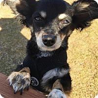 Adopt A Pet :: Winston - Huntington Beach, CA