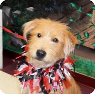 Airedale Terrier/Cairn Terrier Mix Dog for adoption in Boulder, Colorado - Bravo