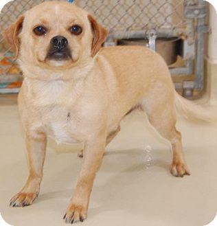 Pug Dog for adoption in Austin, Texas - Austin