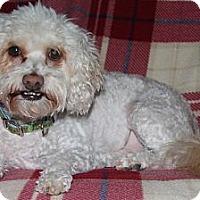 Adopt A Pet :: Chester - Torrance, CA