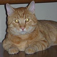 Domestic Shorthair Cat for adoption in Rosamond, California - Scoobert