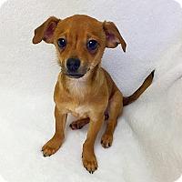 Adopt A Pet :: Drake - Mission Viejo, CA