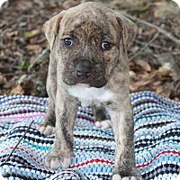 Adopt A Pet :: Bagheera $250 - Seneca, SC