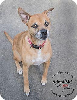 Boxer/Pug Mix Dog for adoption in Belton, Missouri - Annie