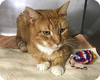 Domestic Shorthair Cat for adoption in Voorhees, New Jersey - Max-10 years old