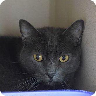 Domestic Shorthair Cat for adoption in Denver, Colorado - Caesar