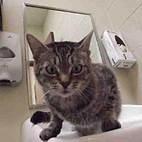 Domestic Mediumhair Cat for adoption in Rogers, Arkansas - BELLAMY