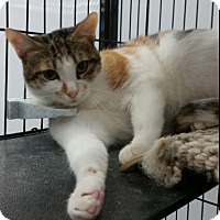 Adopt A Pet :: Phoebe - Cat Spring, TX