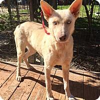 Adopt A Pet :: Sasha (ARSG) - Santa Ana, CA