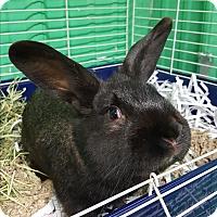 Adopt A Pet :: Sirius Black - Pottsville, PA
