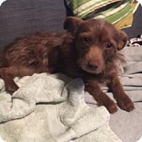 Adopt A Pet :: Maximus - N. Babylon, NY