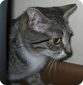 Domestic Shorthair Kitten for adoption in N. Billerica, Massachusetts - Tonya