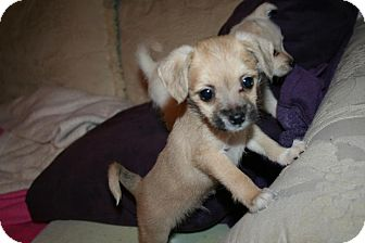 Chihuahua/Terrier (Unknown Type, Small) Mix Puppy for adoption in Westfield, Indiana - Travis