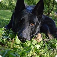 Adopt A Pet :: Panzer - Indianapolis, IN