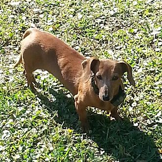 Dachshund Dog for adoption in Jacksonville, Florida - Dolly