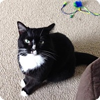 Domestic Shorthair Cat for adoption in Somerville, Massachusetts - Greta (Dracut foster home)